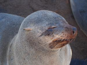 P6252516 - Kaapse pelsrob] Cape Cross